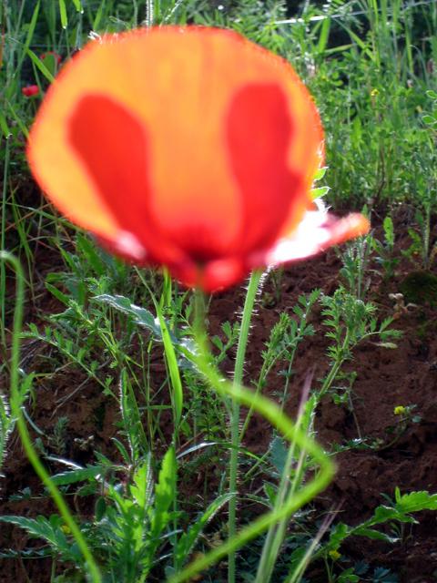 poppy_provence.jpg